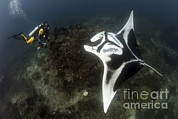 Eagle Ray Posters - A Diver Has A Very Close Encounter Poster by Steve Jones