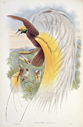 Paradise Drawings Posters - Bird of Paradise Poster by John Gould