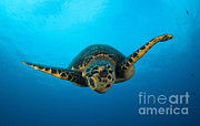 Turtle Shell Framed Prints - Close-up Head On View Of A Hawksbill Framed Print by Steve Jones