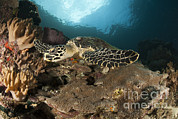 Hawksbill Sea Turtle Prints - Close-up View Of A Hawksbill Sea Turtle Print by Steve Jones
