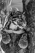Steve Harrington - Clouded Leopard monochrome