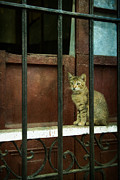 Window Bars Prints - Cuba Cat Print by Betty Wiley