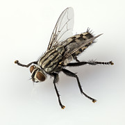 Annoying Photo Posters - Flesh fly isolated Poster by Pablo Romero