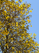 Blue Trumpet Flower Photos - Golden trumpet tree by Ammar Mas-oo-di