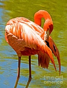 Greater Flamingo Framed Prints - Greater Flamingo Framed Print by Millard H. Sharp