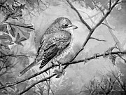 Fauna Paintings - Red Backed Shrike by Andrew Read
