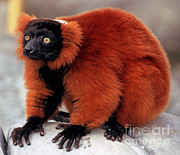 Scared Posters - Red-ruffed Lemur Poster by Millard H. Sharp