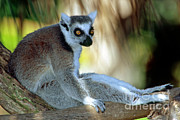 Lemur Catta Posters - Ring-tailed Lemur Lemur Catta Poster by Millard H. Sharp