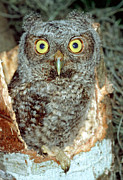 Owlet Photos - Screech Owl Chick by Millard H. Sharp