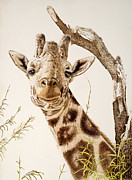 Reserve Drawings Posters - The Quirky Giraffe Poster by Sherri Vanschaick