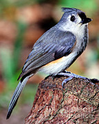 Titmouse Art - Tufted Titmouse Parus Bicolor by Millard H. Sharp