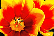 Intimacy Digital Art Posters - Tulip Intimacy Poster by Georgianne Giese