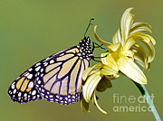Wanderer Photos - Monarch Butterfly by Millard H. Sharp