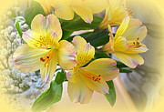 Lily Of The Incas Photos - Alstroemeria by John Tidball