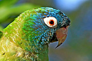 Quaker Parrot Photos - Blue-crowned Parakeet by Ira Runyan