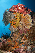 Whips Prints - Colorful Crinoids And Soft Corals Adorn Print by Steve Jones