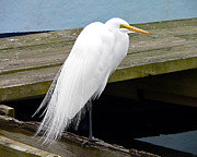 White Egret Posters - Elegant Egret Poster by Al Powell Photography USA