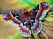 Promethea Framed Prints - Female Promethea Moth Framed Print by Millard H. Sharp