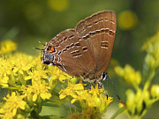 Rollosphotos Digital Art - Hairstreak Butterfly by Christina Rollo