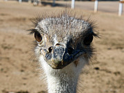 Ostrich Photos - Hows My Hair by Kelly Holm