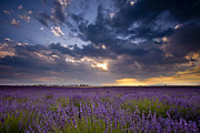 Crop Lines Art - Lavender Sunset by Brian Jannsen