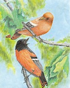 Oriole Drawings Framed Prints - Orioles Framed Print by Cristolin O
