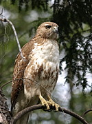 Red Photo Metal Prints - Red Tail Hawk 2 Metal Print by Peter Gray
