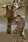Cuddling Framed Prints - Rothschild Giraffe Framed Print by San Diego Zoo