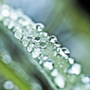 Dew Drops Posters - Tiny waterworld and a leaf Poster by Heiko Koehrer-Wagner