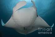 Eagle Ray Posters - Underside View Of A Giant Oceanic Manta Poster by Steve Jones