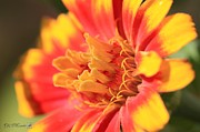 Whirlygig Prints - Zinnia from the Whirligig Mix Print by J McCombie