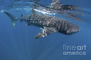 Water Filter Art - Whale Shark Feeding Off Coast Of Isla by Karen Doody