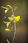 Beautiful Image Posters - American Goldfinch Poster by Christina Rollo