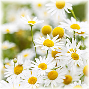 Growing Photo Posters - Chamomile flowers Poster by Elena Elisseeva