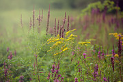 Goldenrod Wildflowers Prints - Summer Field Print by June Marie Sobrito