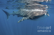 Isla Prints - Whale Shark Feeding Off Coast Of Isla Print by Karen Doody