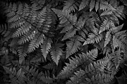 Ferns Print by Steve Patton