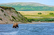 Lay Digital Art - 5-LAY OF THE LAND-Grizzly Bear by Steep Bank to Moraine River in Katmai by Ruth Hager