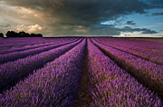 Matthew Gibson - Beautiful lavender field landscape with dramatic sky