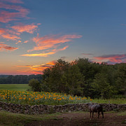 Buttonwood Farm Photo Posters - A Bovine Sunset Square Poster by Bill  Wakeley