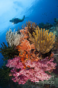 Echinoderm Photos - A Diver Approaches Colorful Soft Corals by Steve Jones