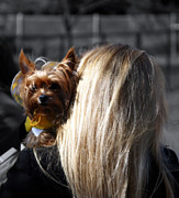 Yorkshire Terrier Metal Prints - A Girl And Her Dog Metal Print by Steven  Digman