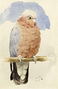 Illustrations Paintings - A Rose Breasted Cockatoo by Henry Stacey Marks