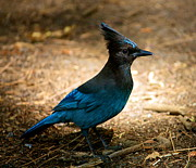 Stellar Metal Prints - A Stellar Jay Metal Print by Lisa Billingsley