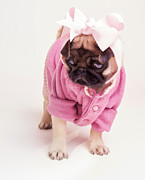 Edward Fielding - Adorable Pug Puppy in Pink Bow and...