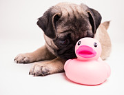 Edward Fielding - Adorable Pug Puppy with pink rubber...