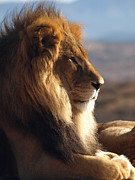 Peterson Nature Photography Posters - African Lion Poster by Melissa Peterson