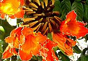 Molokai Framed Prints - African Tulip Tree Framed Print by James Temple