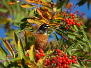 Peterson Nature Photography Posters - American Robin Poster by Melissa Peterson