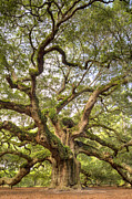 Live Oak Tree Prints - Angel Oak Tree Johns Island SC Print by Dustin K Ryan
